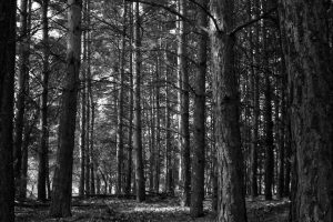 black and white image of a forest
